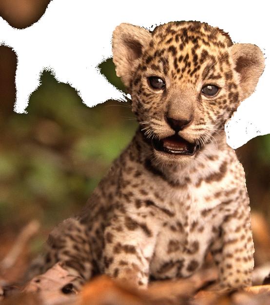 Bébé jaguar